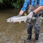 Chum Salmon: Why Should You Care?